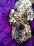 Spotted Dog in Purple Sleeping Bad. Australian blue heeler dog laying upside down in a purple down sleeping bag on a backpacking trip in the Virginia Appalachian Royalty Free Stock Photos