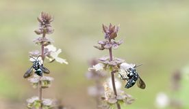 Australian blue neon cuckoo bees Royalty Free Stock Image