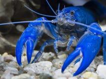 Australian blue pearl crayfish Royalty Free Stock Photos