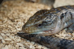 Australian Blue Tongue Skink - Tiliqua scincoides Royalty Free Stock Photo
