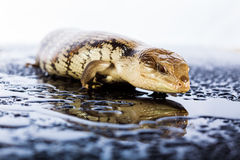 Australian blue tongued lizard in wet dark shiny environement Royalty Free Stock Photo