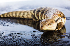 Australian blue tongued lizard in wet dark shiny studio environe Royalty Free Stock Image