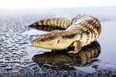 Australian blue tongued lizard in wet dark shiny studio environe Royalty Free Stock Photography