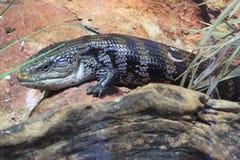 Australian blue-tongued skink Royalty Free Stock Images