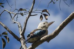 Australian Blue-winged Kookaburra. The Australian Blue-Winged kookaburra is a bird in the kingfisher subfamily. Known for its call that sounds like laughter stock photos
