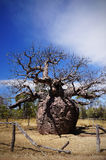 Australian boab prison tree Stock Image