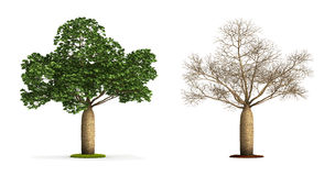 Australian Boab Tree. Royalty Free Stock Photos