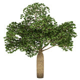 Australian Boab tree isolated on white Stock Photo