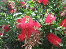 An Australian bottle brush tree Stock Photo