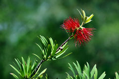 Australian bottlebrush Royalty Free Stock Images