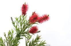 Australian Bottlebrush Callistemon Flowers Stock Image