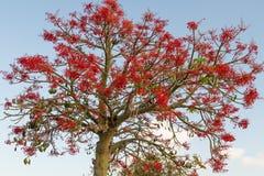 The Australian Brachychiton acerifolius, commonly known as the Illawarra Flame Tree . Royalty Free Stock Image
