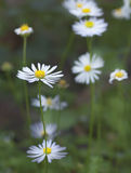 Australian Brachyscome white daisy like widflower. White daisy like Australian native wildflower Brachysome winter flower blossom in eucalypt forest Stock Photos