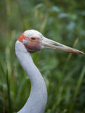 Australian Brolga. Bird. A tropical crane like bird that performs a majestic courtship dance Stock Images