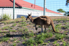 Australian brown kangaroo in yard Stock Photography