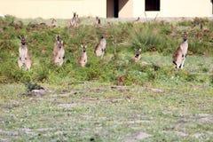 Australian brown kangaroos in field next to housing estate Stock Photography