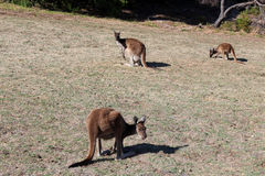 Australian brown kangaroos  on golf course Stock Photography
