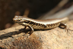 Australian Brown Lizard Stock Photography