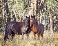 An Australian Brumby Mare and her Foal Stock Images