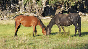 An Australian Brumby Mare and Juvenile Colt Stock Image