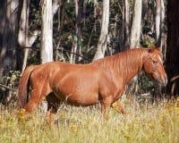 An Australian Brumby wild horse  Stallion Stock Images