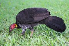 Australian brush-turkey (Alectura lathami) Stock Image