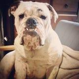 Australian Bulldog Royalty Free Stock Images