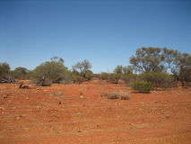 Australian bush. The red soil and silver green eucalyptus trees of the Western Australian bush - not a cloud in sight royalty free stock photography