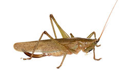 Australian Bush Cricket Royalty Free Stock Photography