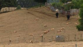 Australian bush farm with cows and sheep UK. Australian countryside farm with arid land HD stock footage