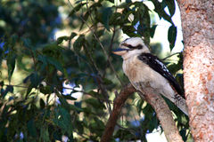 Australian Bush Kookaburra in tree Stock Images