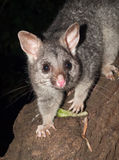 Australian Bush tailed possum climbing up a tree Royalty Free Stock Images