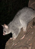Australian Bush tailed possum climbing up a tree Royalty Free Stock Photography