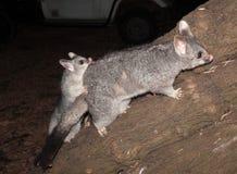 Australian Bush tailed possum climbing up a tree Stock Photos