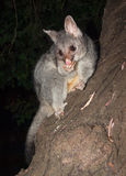 Australian Bush tailed possum climbing up a tree Stock Photo