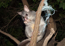 Australian Bush tailed possum climbing up a tree Royalty Free Stock Photos