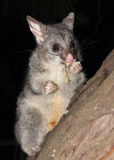 Australian Bush tailed possum climbing up a tree Stock Photos