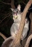 Australian Bush tailed possum climbing up a tree Stock Photo