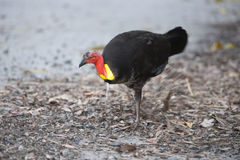 Australian bush turkey pawing Royalty Free Stock Photos