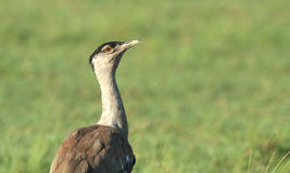 Australian Bustard on green background Royalty Free Stock Photography