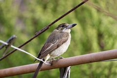 Australian Butcher Bird perched on metal pole. Australian Butcher Bird perched on a metal pole outdoors Royalty Free Stock Photos