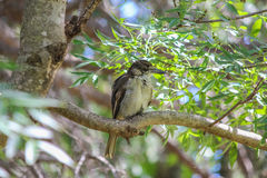 Australian Butcher Bird Royalty Free Stock Image