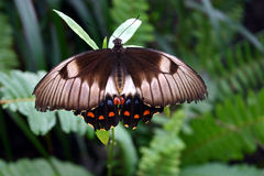 Australian Butterfly. An Australian Butterfly Royalty Free Stock Photography