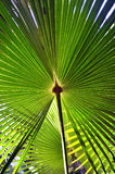 Australian Cabbage Tree Palm leaves stock photography