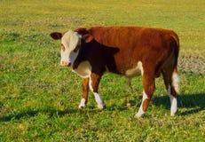 Australian calf Stock Image