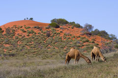 Australian Camels in the Outback Stock Photo