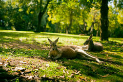 Australian cangaroos relaxing on the grass Stock Photos