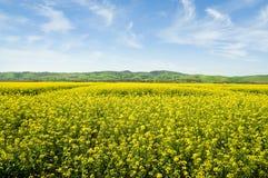 Australian Canola Field. In the Barossa Valley, South Australia Royalty Free Stock Image