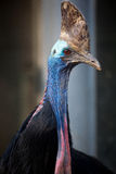 Australian cassowary Royalty Free Stock Photos