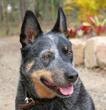 Australian Cattle Dog. Purebred Australian Cattle Dog stock photos